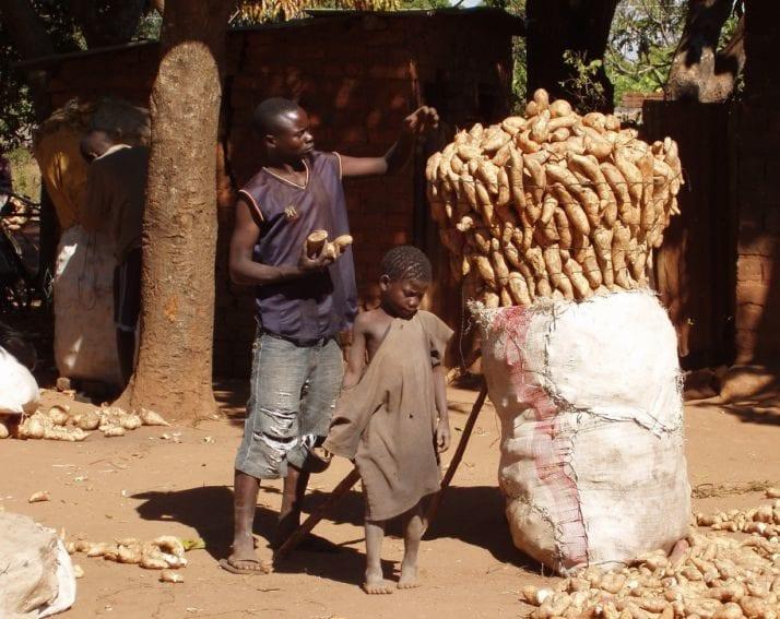 Farmer packs sweet potato