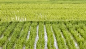 Private-public collaboration needed for rice R&D