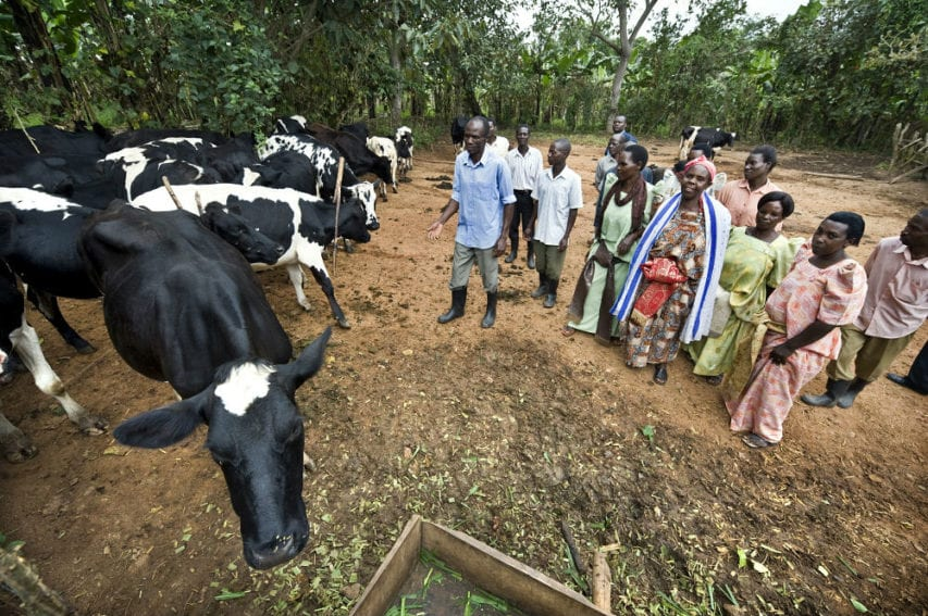 Farmers and members of a women's farming association with a herd of friesian cows