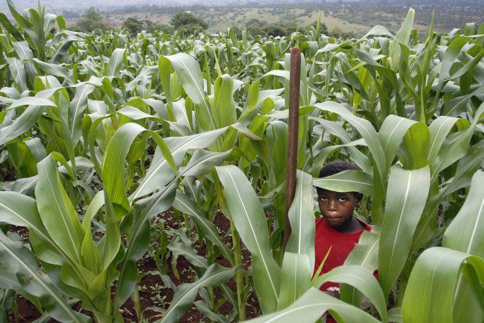 field of maize plants