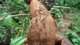 Genetic markers against deadly cassava viruses found