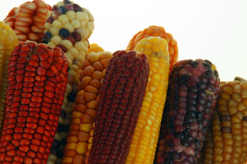 Maize ears