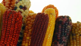 African smallholders to get stress-tolerant maize