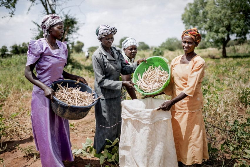 Members of Kabefa farmer's group harvest and thresh a cowpea