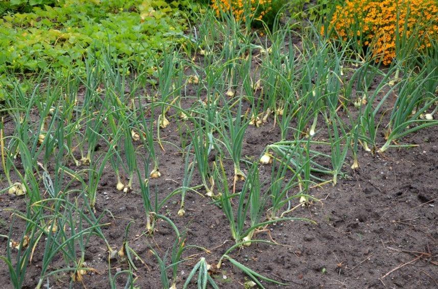 onion farm