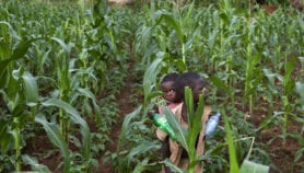 Maize breeders reaping benefits of using drones