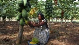 Deadly papaya pest detected in Tanzania