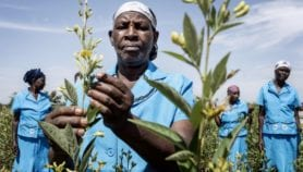 Nuclear tech helps increase crop yields in Africa