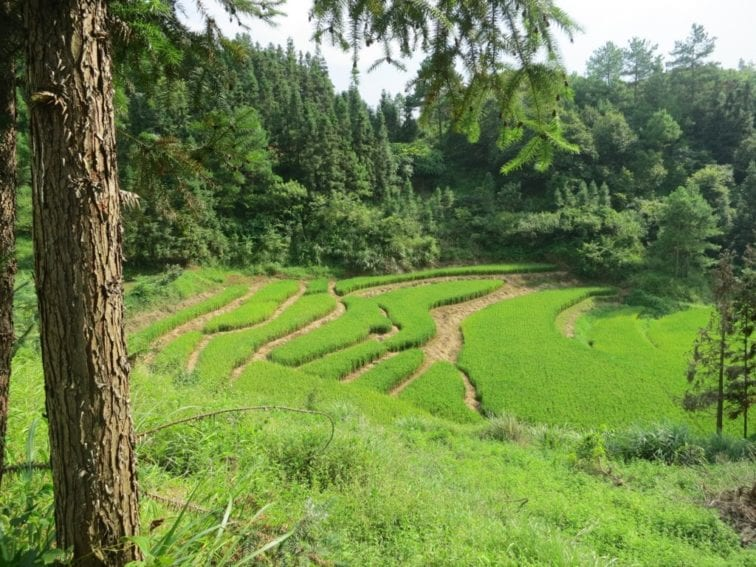Rice fields and  forest plantations