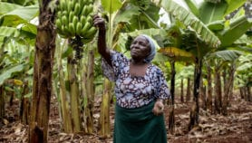 Scientists set to create banana hybrids to raise yields