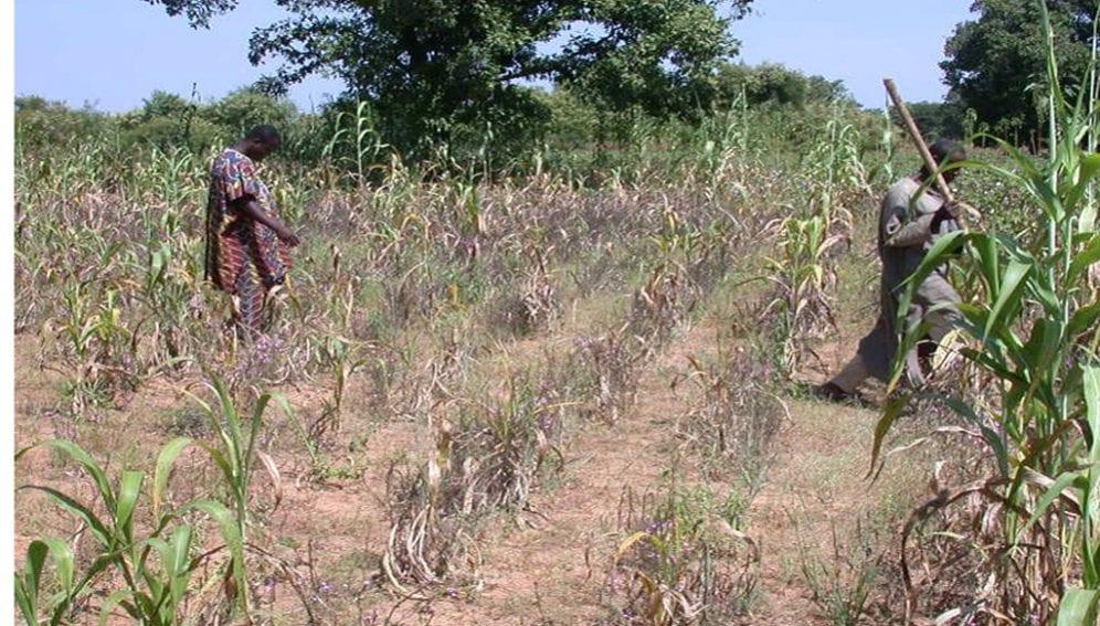 striga infested-maize-farm jpg