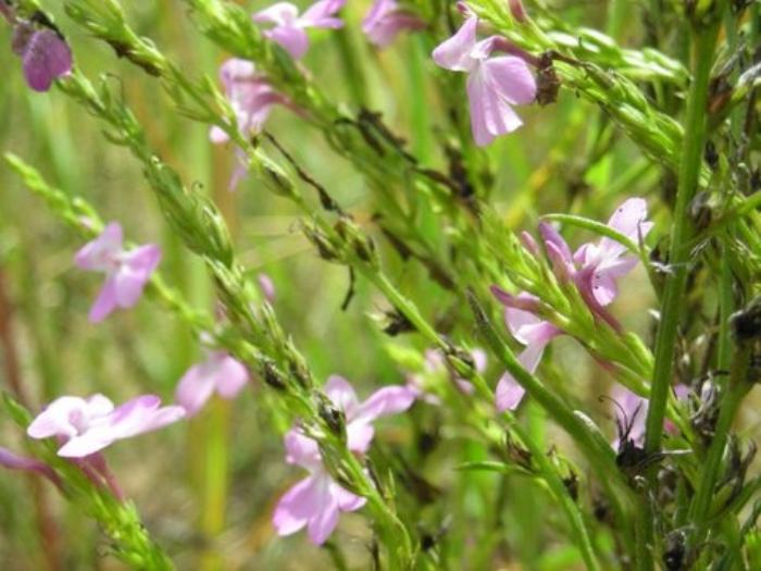 STRIGA WEED