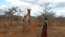 Drought ravaging trees for birth control in Kenya