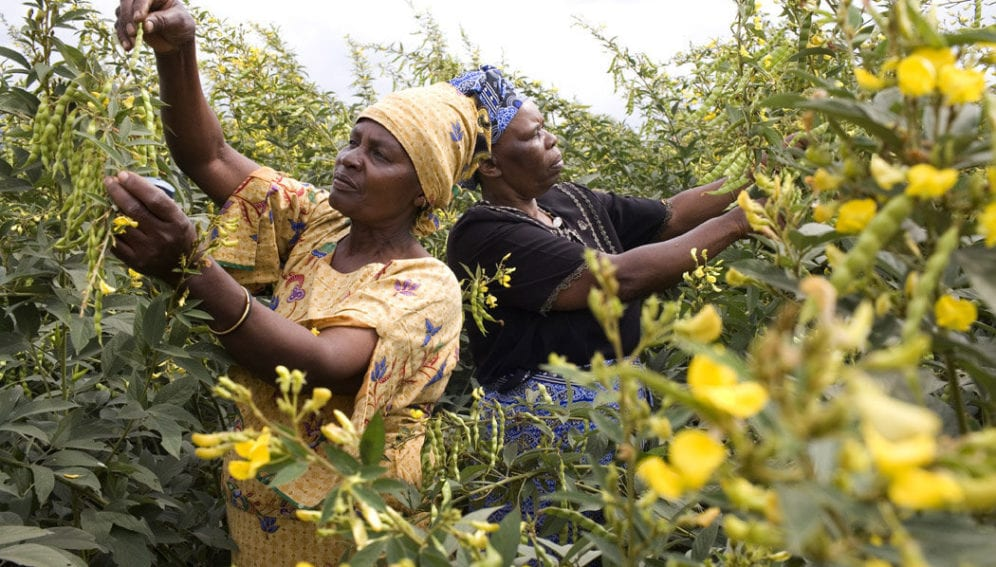 Women inspect pigeonpea at flowering time in East Africa