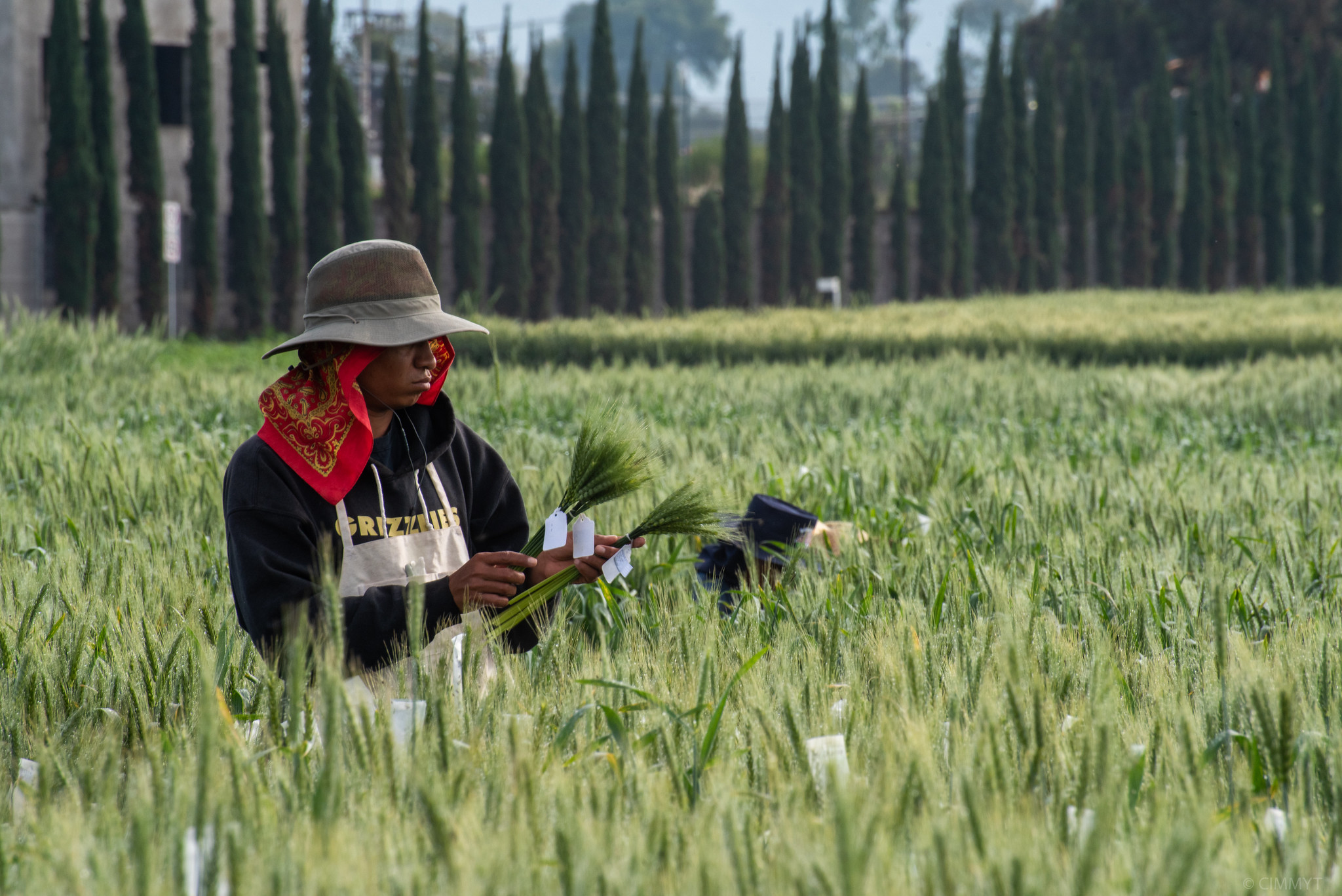 Wheat disease common to South America jumps to Africa