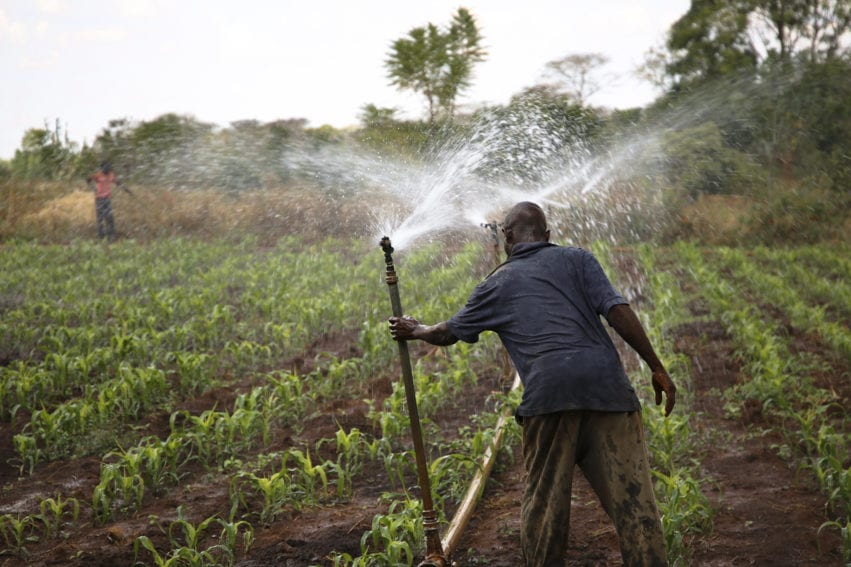 Farm worker adjusts a sprinkler irrigation pipe in a maize field