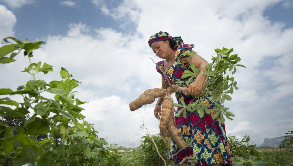Holding freshly harvested cassava, Abuja