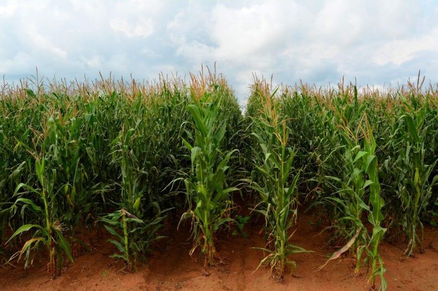 maize farm