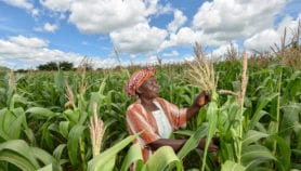 Flowering plants boost maize yields by half
