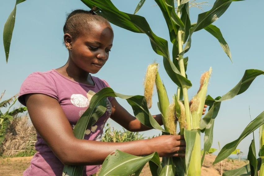 Maize near Yangambi, DRC.