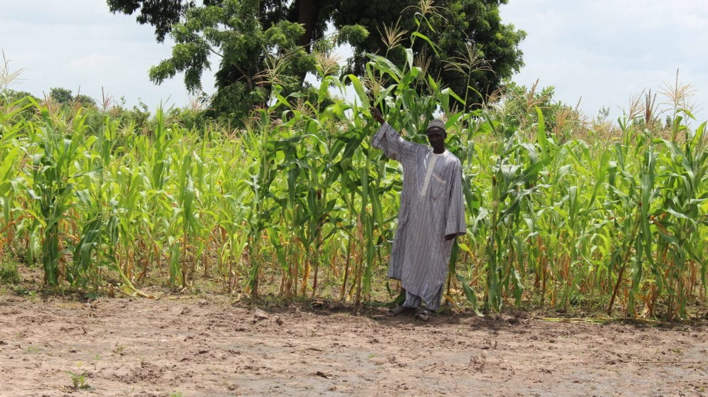 smallholder farmers cultivating maize for subsitence purposes.