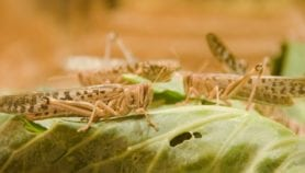 Locust invasion spawns new food threat