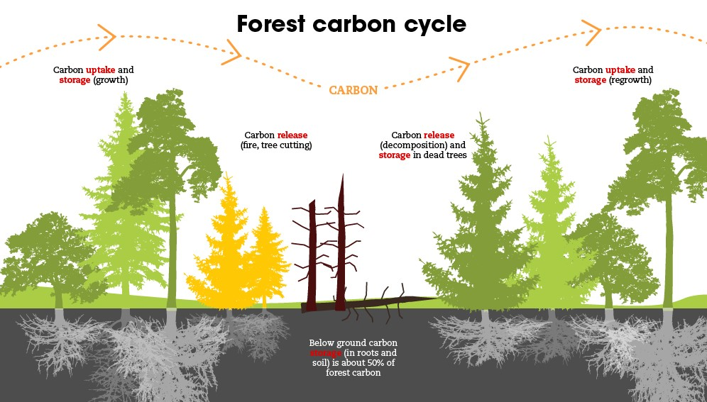 Forest carbon cycle